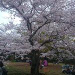 栗林公園でお花見!
